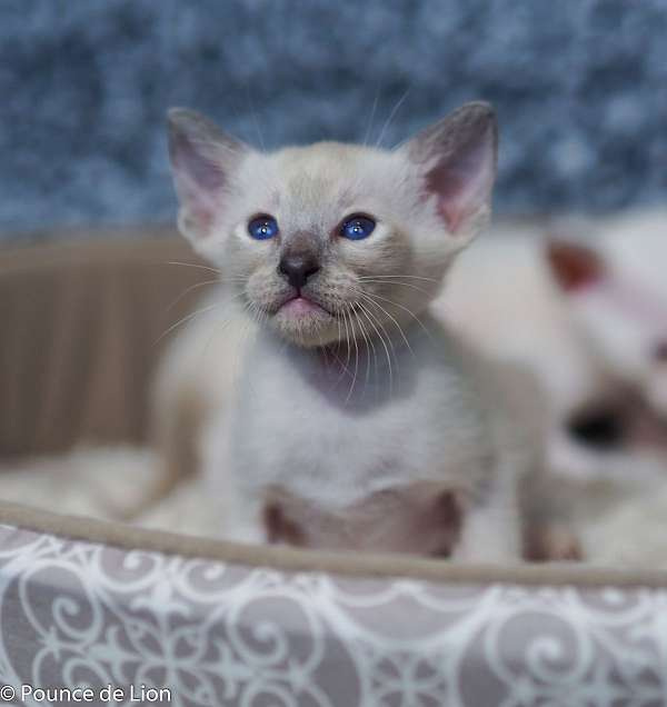 colorpoint-short-hair-cat-for-sale