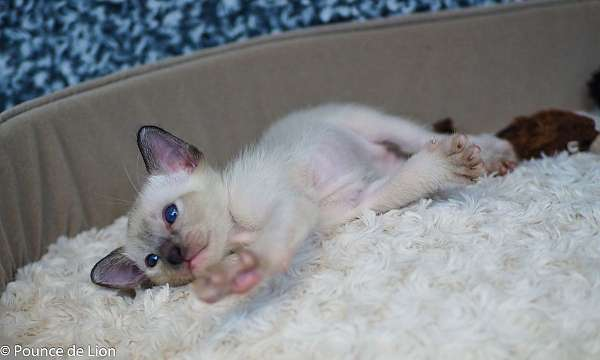 blue-eyed-colorpoint-cat-for-sale