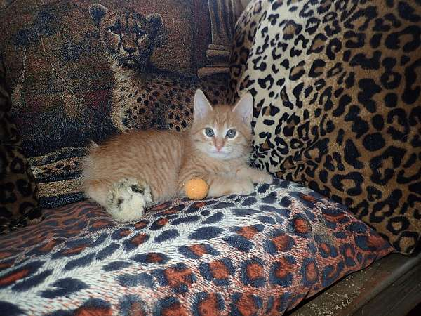 apricot-tabby-cat-for-sale