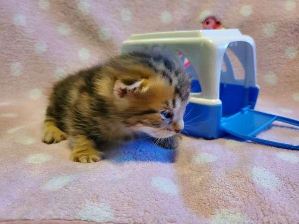 hazel-eyed-tabby-cat-for-sale