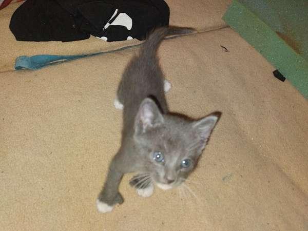 grey-cat-for-sale-in-centralia-wa