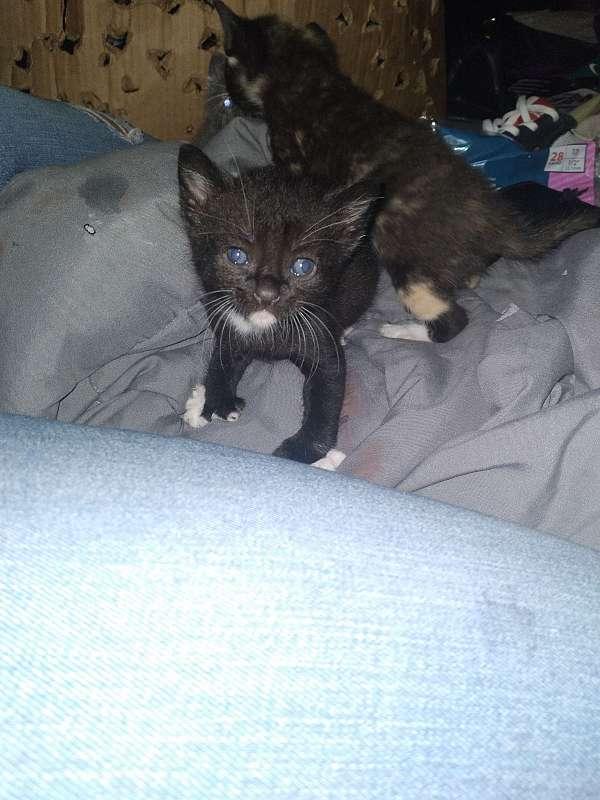 black-white-cat-for-sale-in-centralia-wa
