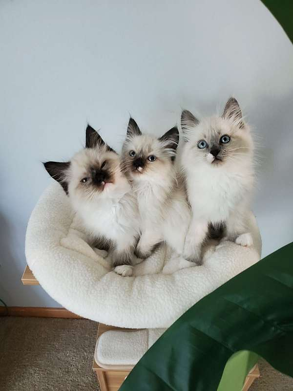 cat-for-sale-in-shakopee-mn