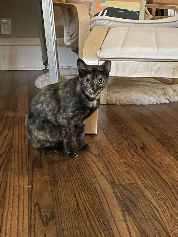 cat-for-sale-in-tulsa-ok