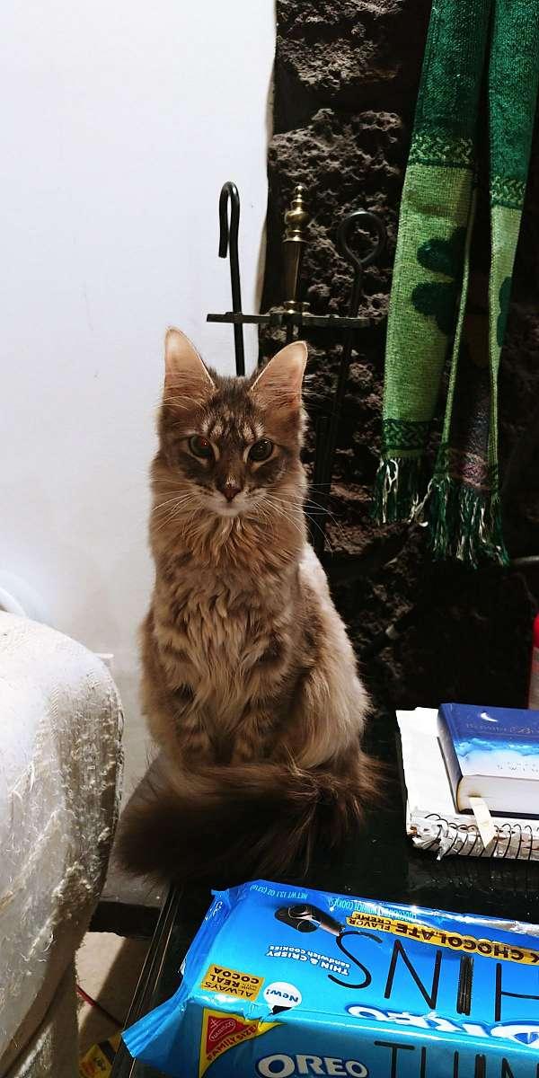 cat-for-sale-in-hillsboro-mo