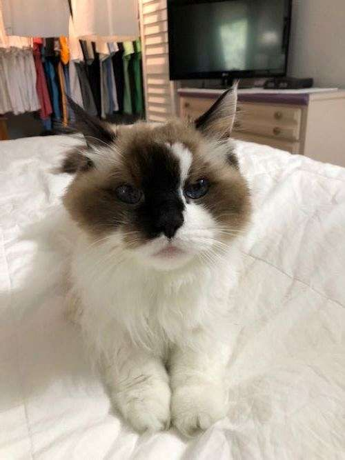 cat-for-sale-in-palm-harbor-fl