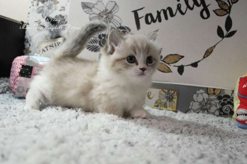 Munchkin Cats for Sale