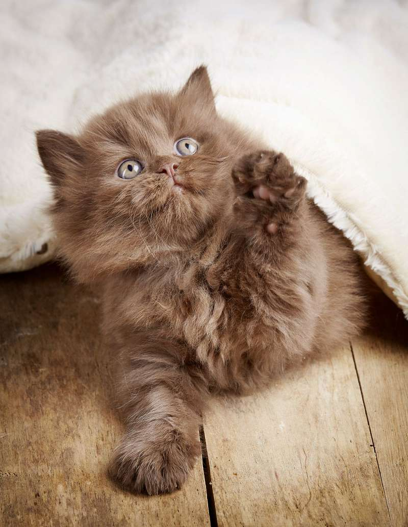 British Longhair Cats For Sale