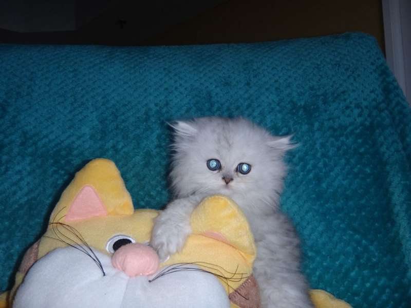 Persian Cats Available For Adoption In Florida