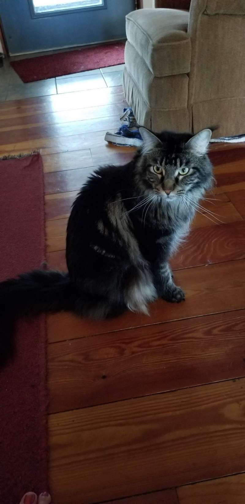 Maine Coon Cats Available For Adoption In Minnesota