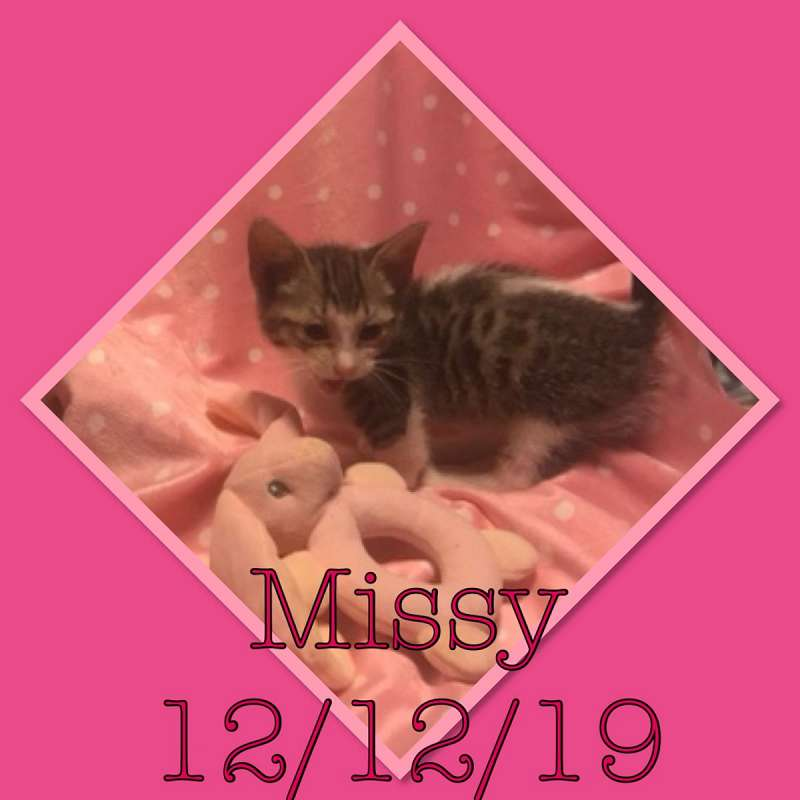 Munchkin Cats Available For Adoption In Florida