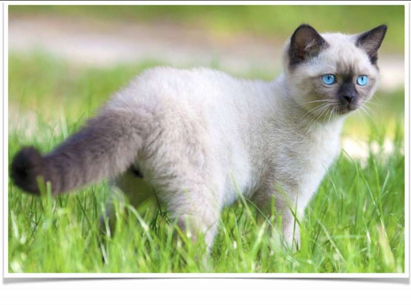 Balinese Cats For Sale